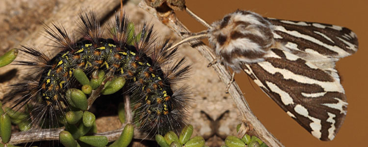 Caterpillar and moth of Paralacydes vocula reared on Lycium spp. (Solanaceae)